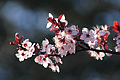 Plum Blossoms blooming on the tree in the springtime