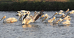 A Different Drummer: American White Pelicans