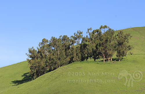 Grove of Trees on green hillside near Mt Hamilton, San Jose, California in the spring