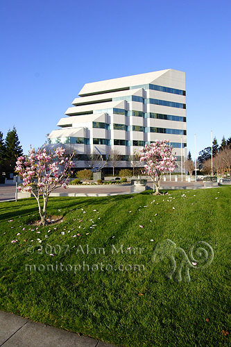Magnolia Blossoms and Modern Office Building